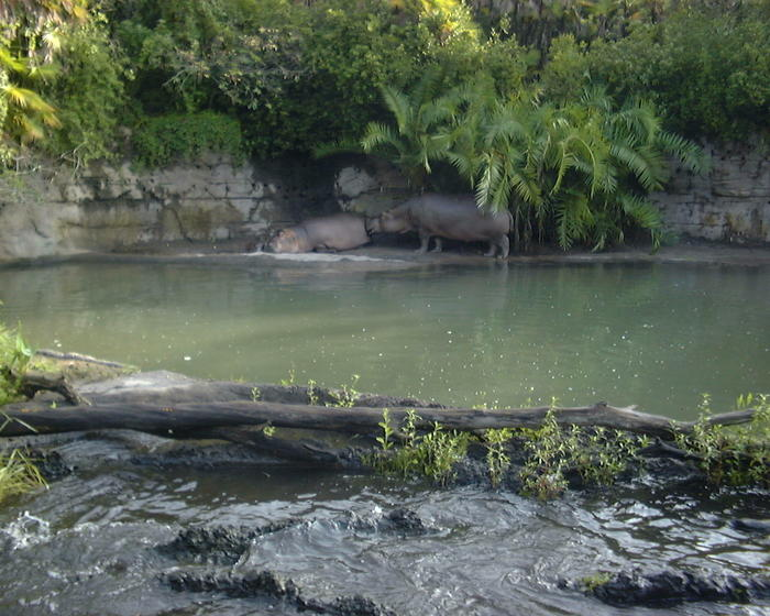 Hippos at Animal Kingdom