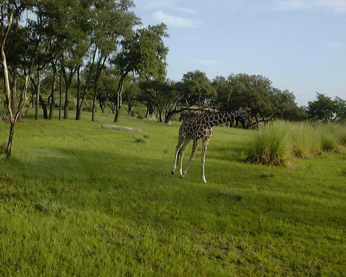 Giraffe on the safari at Animal Kingdom